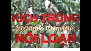 Download Chào Mào Mái Hót Kích Trống, Giọng Gọi Bầy Kích Trống Cực Xung Phương Đà Nẵng. Video