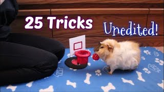 Download 25 Guinea Pig Tricks All At Once Video