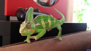 Download The routine of a Chameleon Video