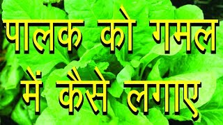 Download How to Grow Spinach in Containers, Gardening Sekho in Hindi/Urdu, planning a garden Video