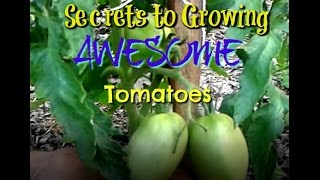 Download Secrets to Growing AWESOME Tomatoes Video