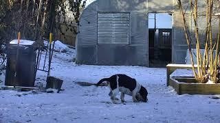 Download Outside Dog Yard Cam 01-18-2018 06:00:12 - 07:00:13 Video