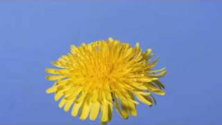 Download Time lapse Dandelion flower to seed head Video