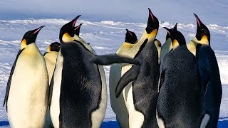 Download Emperor Penguins Fight Over Mate | BBC Earth Video
