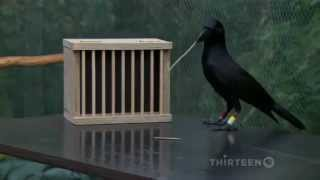 Download How smart is a crow? Video