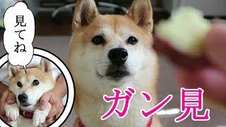 Download 柴犬小春 【紅優甘】食欲の秋到来!お芋さんを欲しがる愛犬の表情が切実すぎた!shibainu-Koharu Video