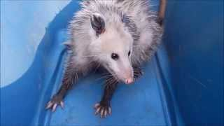 Download How aggressive are opossums? Video