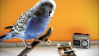 Download FUNNY PARROTS ★ World's BEST Talking Parrots (HD) [Funny Pets] Video