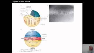 Download Dr. Lemanski - BCS 526, Zebrafish Video