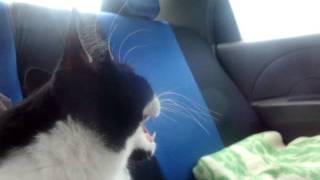 Download Кошка впервые едет в машине. Video