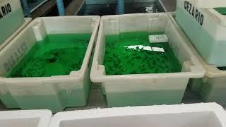 Download Visita exportador de peixes ornamentais 2(6) Video