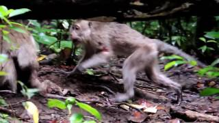 Download Infanticide in Long tail Macaque Video