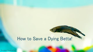 Download How to save a Dying Betta | Fish Care | Fungal Infection Video