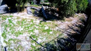 Download Jacksonville Zoo Tiger Cubs Video