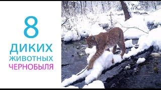 Download 8 видов диких животных заселивших Чернобыль после катастрофы Video
