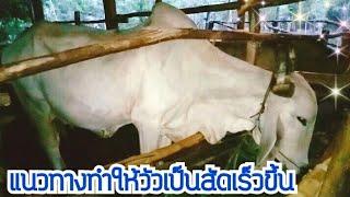 Download แนวทางทำให้วัวเป็นสัดเร็วขึ้น Video
