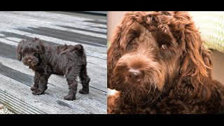 Download Labradoodle Puppy from 10Wks Old to 1 Year Old Video