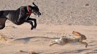 Download Desert hunting by saluki #Natural Life Video
