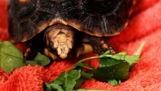 Download What to Do If Your Turtle Won't Eat | Pet Turtles Video