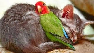 Download Birds Playing With Cats Compilation 2014 [NEW] Video