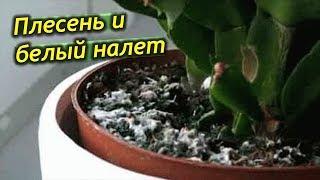 Download Плесень и белый налет в горшках комнатных растений. Что делать? Как избавится от налета? Video