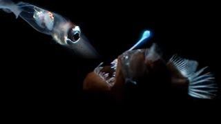 Download Deep Sea Creatures Exhibit Bioluminescence | Blue Planet | BBC Earth Video