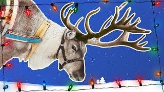 Download Reindeer for Kids | Caribou | Wild Animals | Arctic Animals Video
