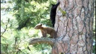 Download Black Bear Cubs Video