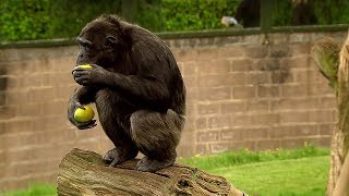 Download Trading with a Chimp - Extraordinary Animals - Series 2 - Earth Video