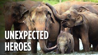 Download Using Dozens Of Elephants To Save Rhinos Video