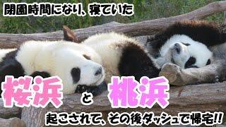 Download 【かわいい♥】閉園時間、寝ていたパンダの桜浜&桃浜起こされて、その後ダッシュで帰宅♪ Video