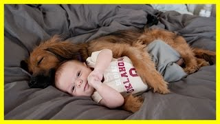 Download Dog Massage Little Baby Child Baby enjoying massage by his pet dog Video