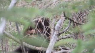 Download Enormous Sasquatch. 8 foot six ,over 700lbs, 16 inch Bigfoot track Video