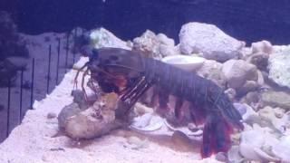 Download Mantis shrimp vs crab in deadly fight! Video