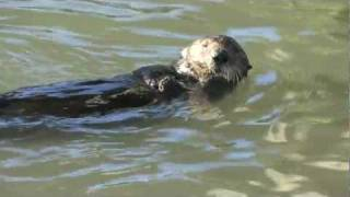 Download Sea Otter Using a Rock to Open Clams Video