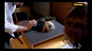 Download Meerschweinchenmesse in Wien Video