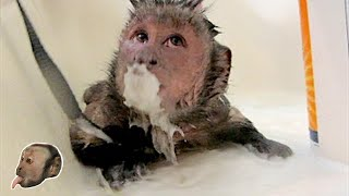 Download Capuchin Monkey HOT Soapy Shower Video