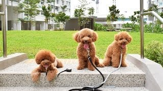 Download Amber Toy Poodle - Mocca, Gucci, Fluffy & Amber 2 Video