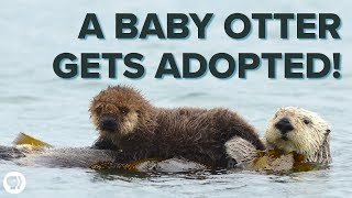 Download Inside an ADORABLE Sea Otter Adoption Program! Video