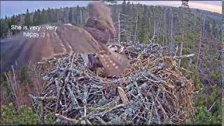 Download Irma's return - 2018 / Estonian Osprey nest Video
