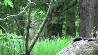 Download Iowa Whitetail Deer - Startled Alarm Video