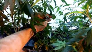 Download Cloning, Propagation and Pruning Cannabis Pt1 Video