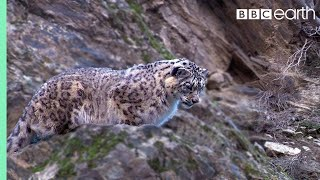 Download Snow Leopard: First Intimate Images In The Wild | Planet Earth | BBC Earth Video