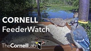 Download Cornell Lab FeederWatch Cam at Sapsucker Woods Video