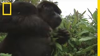 Download How to Survive a Gorilla Charge | National Geographic Video