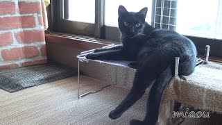 Download 黒猫クロがじゃらしを見たときの表情 Face when the black cat saw cat feather toy【瀬戸の黒猫日記】 Video