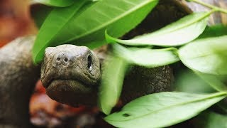 Download Spy Tortoise Adopted by Chimpanzee | Spy in The Wild | BBC Earth Video