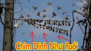 Download Bẫy Chim Sẻ Với Thế Cắm Phá Cách Và Tiếng Víp -Tuyên đen Theo gỡ chim mỏi tay Video