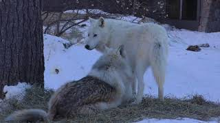 Download International Wolf Center- Finally some Warm Weather - 1 March 2018 Video