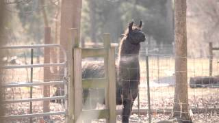 Download Llama Nation: The Documentary - Teaser #1 Video
